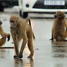 COME RAIN, COME SNOW, BABOONS ARE ALWAYS ON A SHOW! by Magriet Meintjes