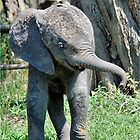 YES I'M DOING THE BABY ELEPHANT WALK - THE AFRICAN ELEPHANT – Loxodonta Africana by Magriet Meintjes