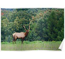 Bull Elk, Bennezette 2014 Poster