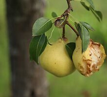 Good Pear, Bad Pear by Stuart Daddow Photography