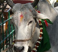Sacred cow - ohm by Vickifenno