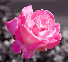 Single Pink Rose by Lynn Bolt