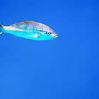 Yellowtail Snapper by globeboater
