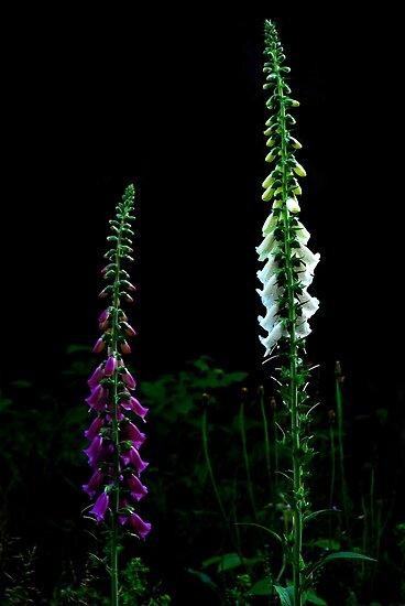 Beautiful Foxglove........... by Imi Koetz