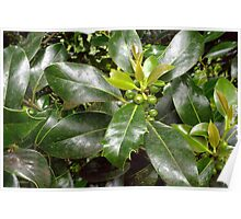 Holly Berries and Leaves Poster
