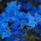 Lechenaultia Blue by kalaryder