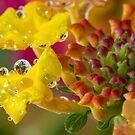 Lantana Bubbles by Lynn Gedeon