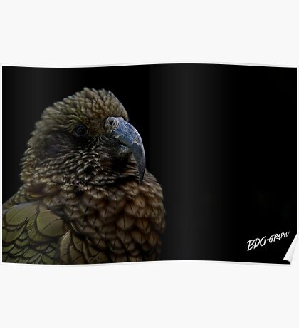 The proud Kea Poster