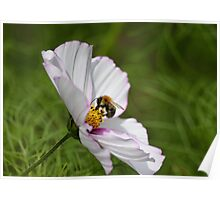 Bee on coloured flower  Poster