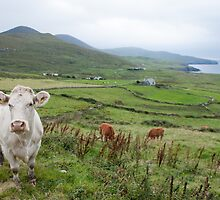 A cow in Kerry by shaymurphy