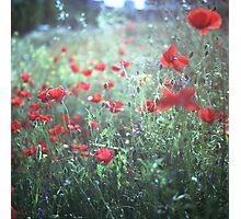 Red wild poppy flowers on green Hasselblad square medium format film analogue photograph Photographic Print