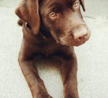 Chocolate young labrador dog Sticker