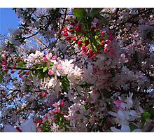 Crabapple flowers Photographic Print