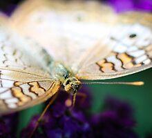 White Peacock Anartia Jatrophae by Henrik Lehnerer