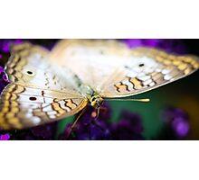 White Peacock Anartia Jatrophae Photographic Print