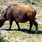 Buffalo by globeboater