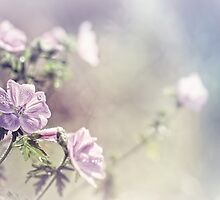 Malva moschata or musk mallow by Bob Daalder