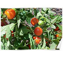 Tomatoes in the garden Poster