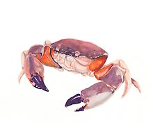 Florida Stone Crab Photographic Print