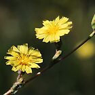 Lactuca serriola  ~ Prickly Lettuce Wildflower by Jan  Tribe