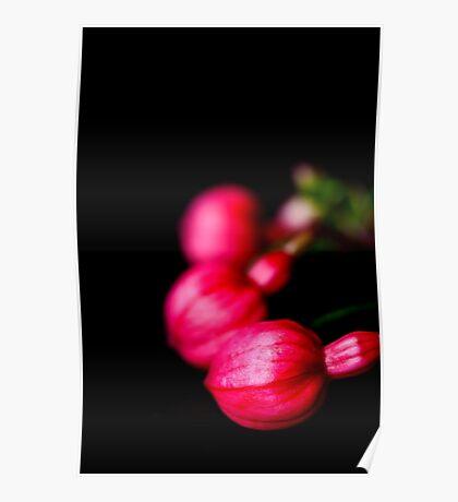 Fuchsia Buds Poster
