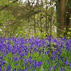 Locks Ash Bluebell Woods by lezvee