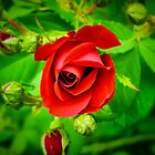 A Single Red Rose by Chantal PhotoPix