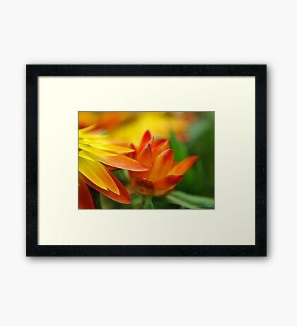 Orange Flower in the Evening Sun Framed Print