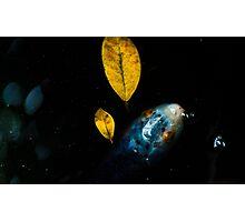 Koi and leaves Photographic Print