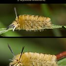 The Banded Tussock Moth Caterpillar by DigitallyStill