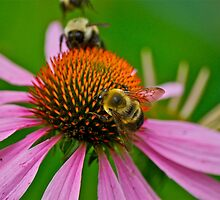 Busy Bumble Bees by Carolyn Clark