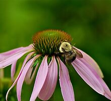 Busy Bumble Bee by Carolyn Clark