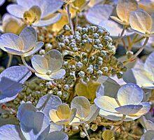 Vanilla Hydrangea by T.J. Martin