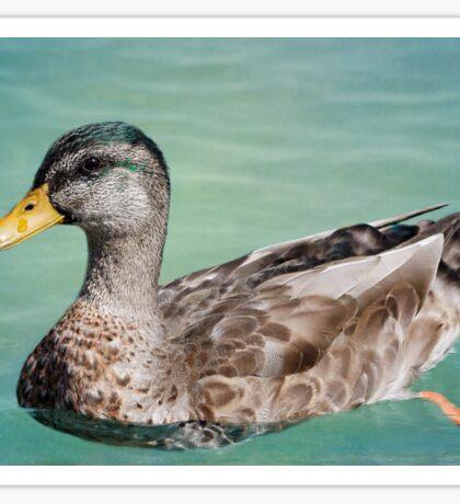 Male Mallard Duck Going For a Swim Sticker