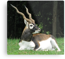 Male Black Buck Antelope Metal Print