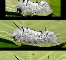 The Hickory Tussock Moth Caterpillar by DigitallyStill