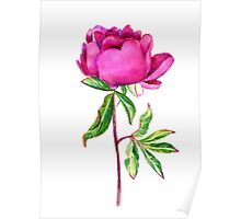 Delicate watercolor pink peony Poster