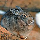 COTTONTAIL RABBIT by Chuck Wickham