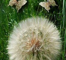 DANDILION PICTURE WITH DANDILION BUTTERFLIES MADE FROM THE DANDILION...PICTURES AND OR CARDS.. by ✿✿ Bonita ✿✿ ђєℓℓσ