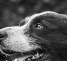 expression of a border collie Sticker