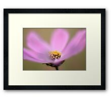 Pink Cosmos flower Framed Print