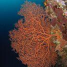 Sea Fan by Andrew Trevor-Jones