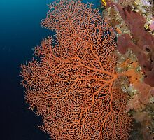 Sea Fan by Andrew Trevor-Jones