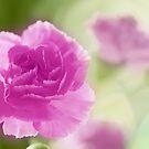 pink memories by lensbaby