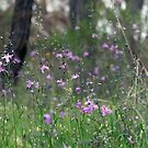 Field of Chocolate Lillies (Arthropodium strictum) by Hannah Nicholas