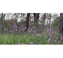 Forest of Chocolate Lillies (Arthropodium strictum) Photographic Print