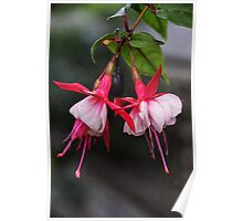 Red and white fuschia flowers Leith Park Victoria 20161017 7650 Poster