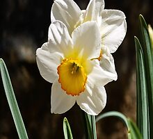Daffodil or Narciso? by RGKphotos