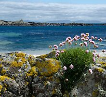 Sea thrift on Mull by tmtht