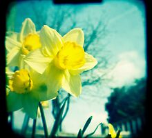 Daffodils by gailgriggs